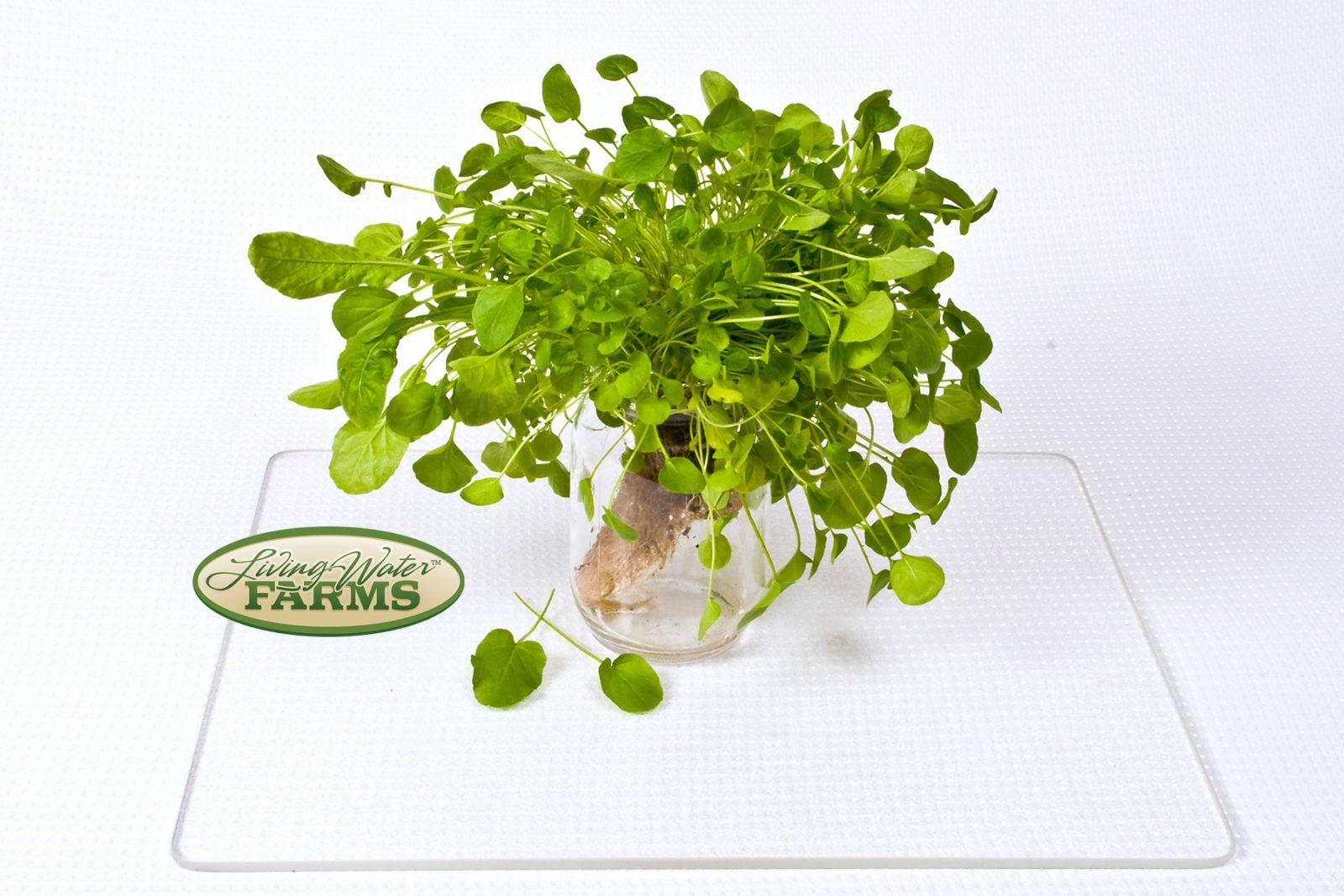 Living Water Farms Living Greens Cress