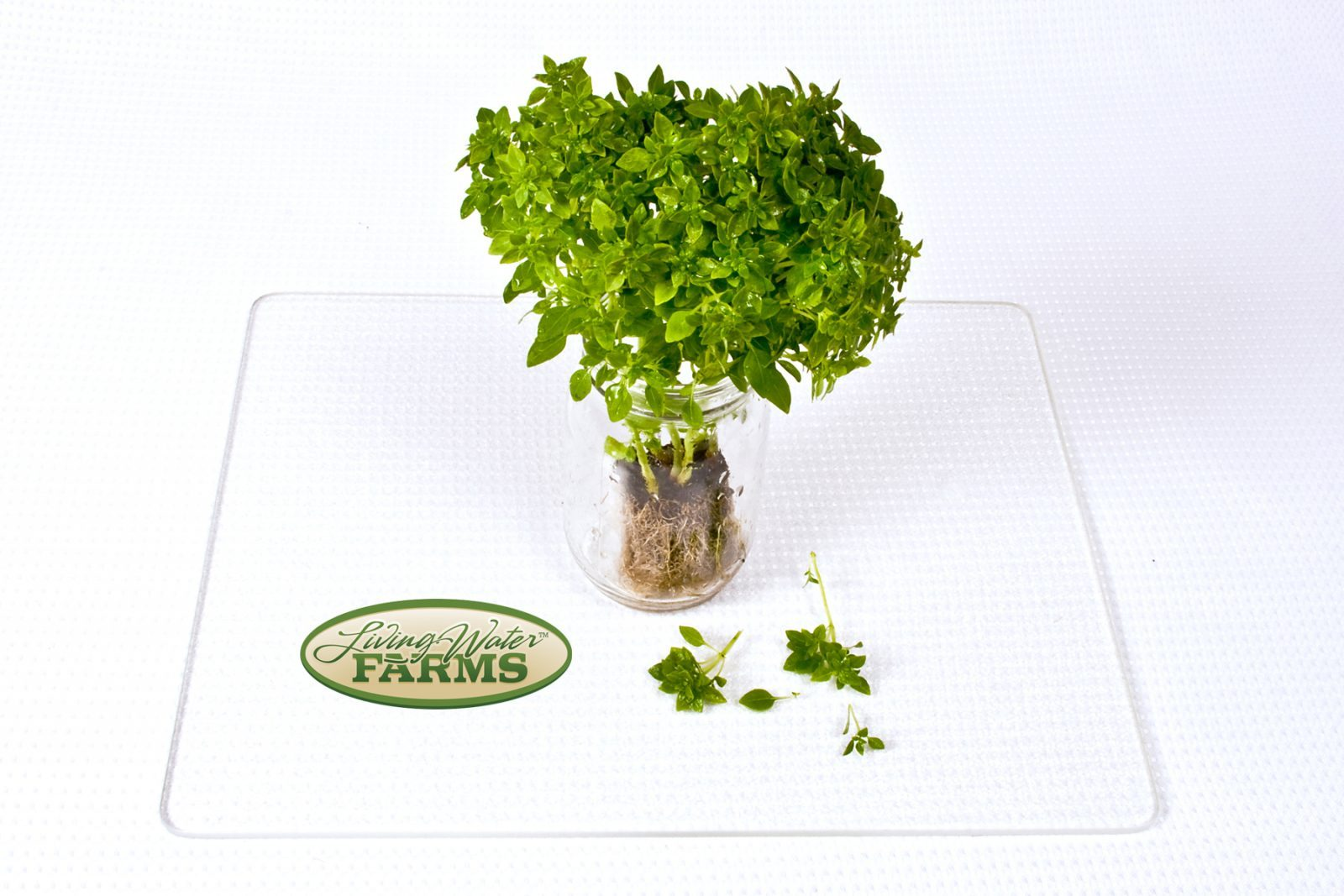 Living Water Farms Living Greens Pistou Basil