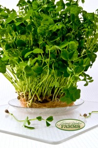 Living Water Farms Micro Greens Pea Tendrils
