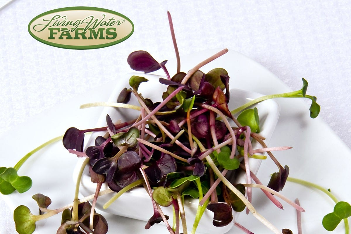 Living Water Farms Micro Greens Radish Opal