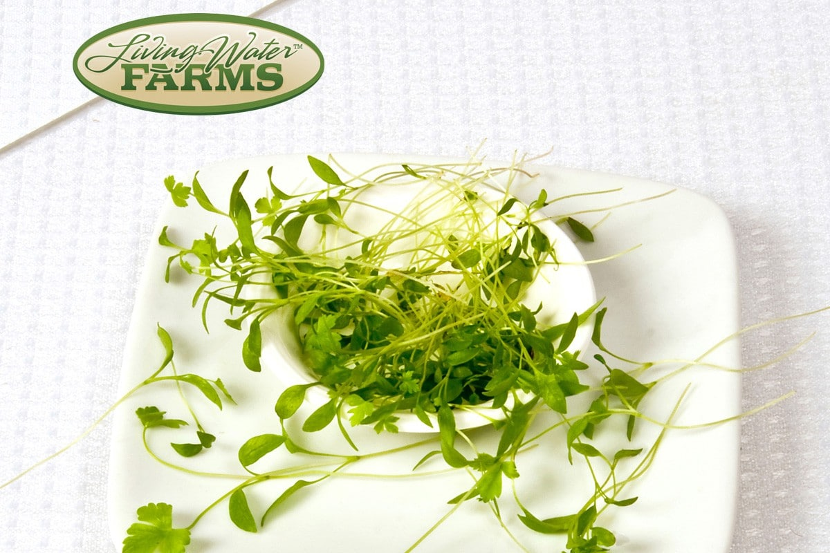 Living Water Farms Micro Greens Parsley