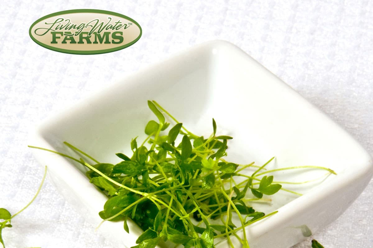 Living Water Farms Micro Greens Celery