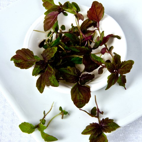 "<a href=""/portfolio/red-shiso-2/"" target=""_blank"">Micro Red Shiso</a>"