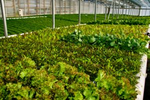 Lettuce greens in greenhouse