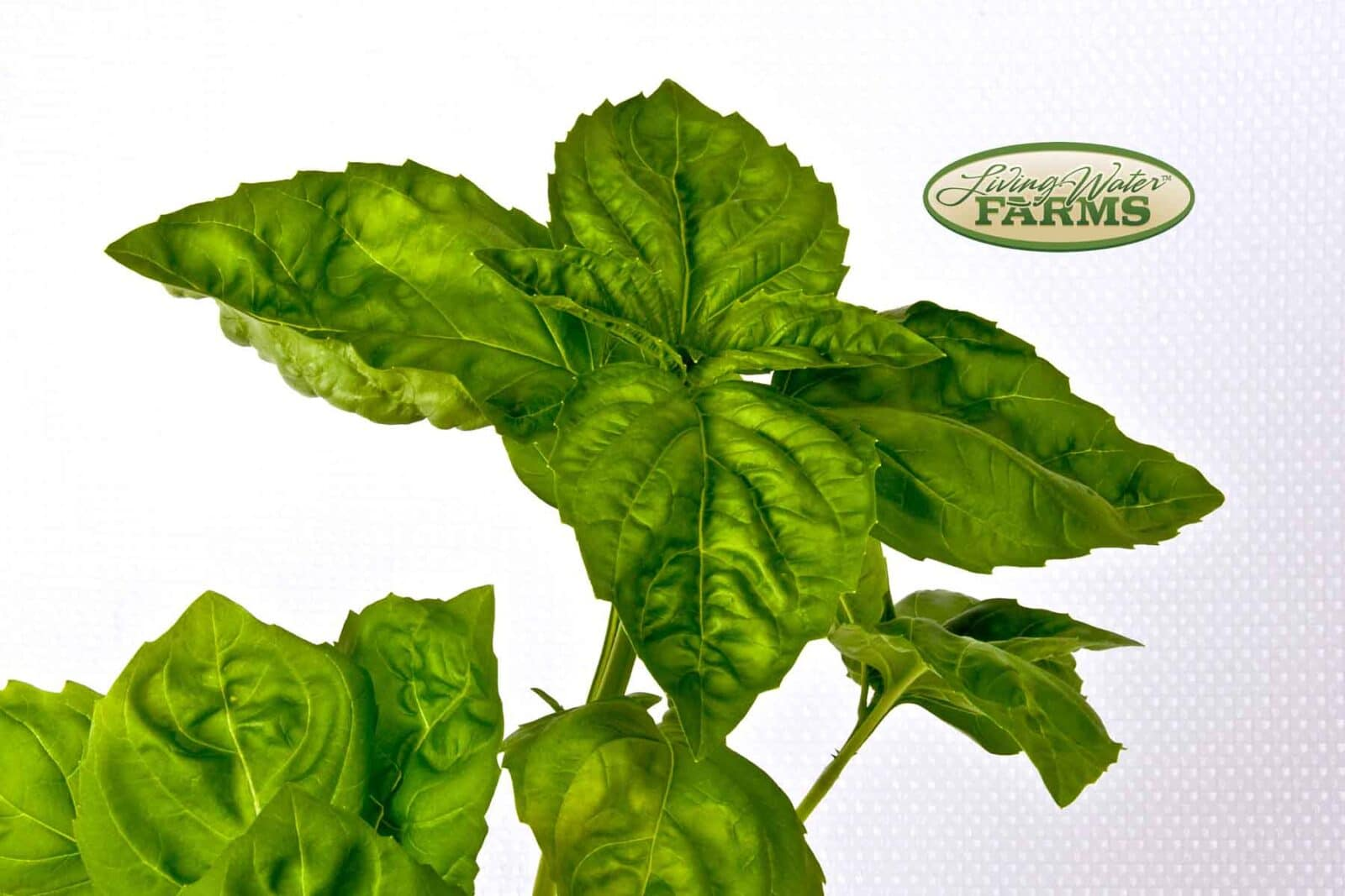 Living Water Farms Living Greens Basil Italian Large Leaf