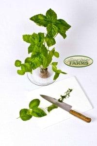 0068lwf basil italian lg leaf