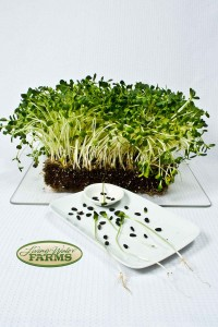 LWF sunflower shoots